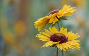 Picture drops, macro, Rosa, background, petals, yellow, Gaylardiya