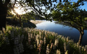 Picture greens, summer, leaves, the sun, light, trees, flowers, river, thickets, shore, pond, lupins