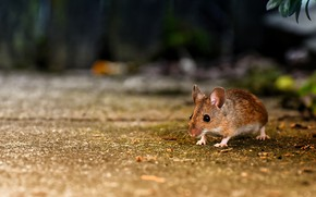 Picture mouse, bokeh, rodent