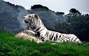 Picture cat, animals, Tiger, white tiger
