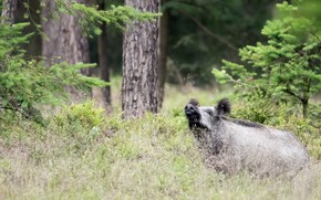 Picture forest, nature, boar