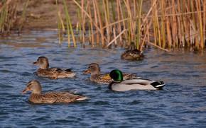 Picture lake, duck, spring, float, Drake