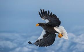 Picture winter, the sky, snow, flight, bird, eagle, Steller's sea eagle, wingspan