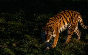 Picture grass, look, light, nature, tiger, pose, the dark background, shadow, paws, walk, wild cat, sneaks