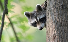Picture pose, portrait, look, background, nature, Peeps, face, raccoon, leaves, tree, bokeh, foot, cub, trunk, bark, …