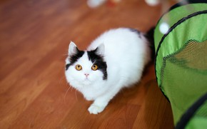 Picture cat, look, pose, green, kitty, black and white, basket, baby, flooring, floor, tent, house, kitty, …