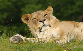 Picture grass, face, pose, stay, lies, lioness