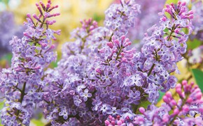 Picture flowers, branches, spring, flowering, lilac, inflorescence, bokeh