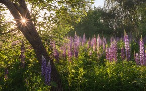 Picture summer, the sun, tree, Lupin