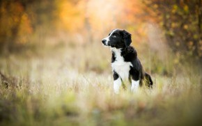Picture autumn, forest, grass, look, nature, pose, Park, background, black and white, glade, dog, baby, puppy, ...
