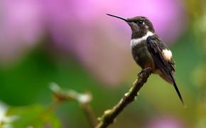 Picture background, bird, branch, Hummingbird, bird, bokeh