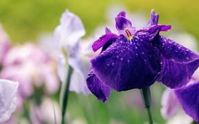 Picture flower, purple, drops, close-up, lilac, spring, irises, iris