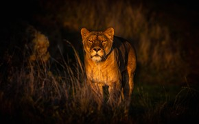 Picture grass, look, face, light, nature, the dark background, lioness, wild cat