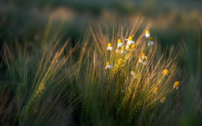 Picture nature, chamomile, ears
