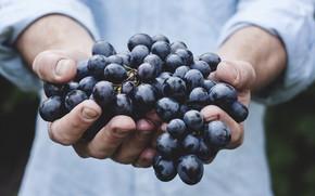Picture blue, hands, harvest, grapes, large