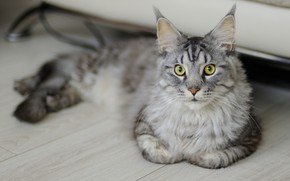 Picture cat, cat, grey, Board, lies, Maine Coon