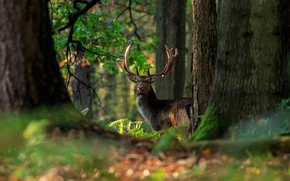 Picture forest, trees, nature, deer, handsome, bokeh