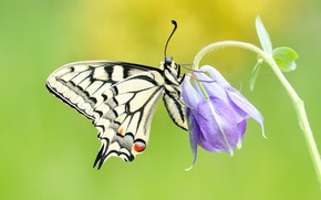 Picture flower, summer, macro, background, lilac, butterfly, insect, swallowtail, the catchment, Aquilegia