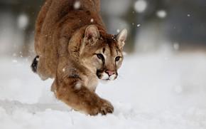Picture winter, snow, nature, animal, predator, Puma, Cougar