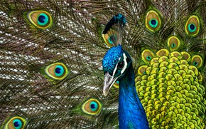 Picture bird, portrait, feathers, tail, peacock