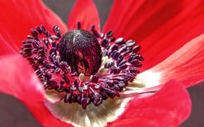 Picture flower, petals, anemone, anemone, ветряница