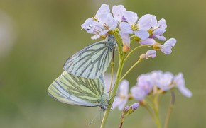 Picture macro, butterfly, flowers, insects, background, pattern, butterfly, tenderness, two, plant, pair, white, a couple, Duo, …