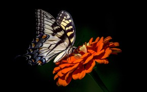 Picture flower, background, butterfly, zinnia