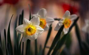 Picture flowers, spring, daffodils, flora, Nelia Rachkov