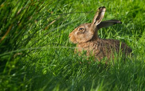 Picture greens, summer, grass, eyes, look, light, nature, grey, hare, profile, ears, face, sitting, Bunny, green …