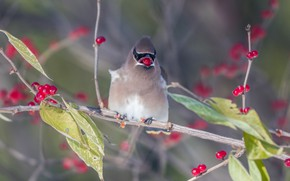 Picture branches, berries, bird, the Waxwing, meal