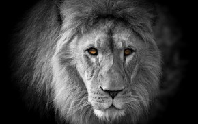 Picture look, face, portrait, Leo, black background, monochrome, black and white photo, yellow eyes