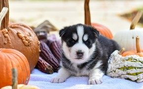 Picture autumn, nature, pose, background, dog, baby, pumpkin, puppy, lies, face, husky, Siberian husky