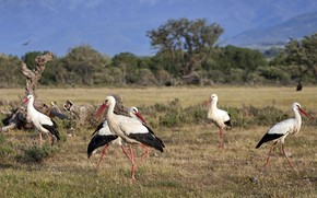 Picture birds, nature, storks