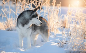 Picture winter, snow, branches, nature, animal, dog, husky, dog, Svetlana Pisareva