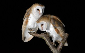 Picture birds, nature, Barn Owls