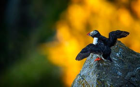 Picture yellow, background, bird, stone, wings, stalled, bokeh, the scope, Atlantic