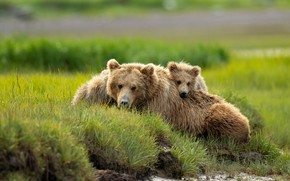 Wallpaper greens, summer, grass, look, nature, pose, stay, shore, baby, bear, pair, three, lies, bear, bears, ...