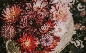 Picture flowers, basket, dahlias