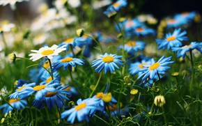 Picture greens, summer, flowers, glade, chamomile, blue, white, gerbera, blue