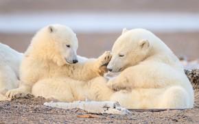 Picture bears, a couple, polar bears, cubs, polar bears, two of the bear
