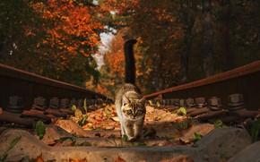 Picture autumn, cat, eyes, cat, look, leaves, trees, nature, kitty, rails, tail, railroad, walk, kitty, face, …