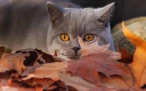 Picture cat, look, leaves, muzzle, British Shorthair