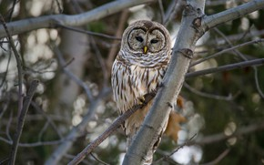 Picture branches, the dark background, tree, owl, bird, owl