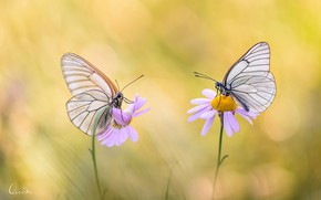 Picture butterfly, flowers, wings