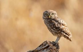 Picture look, background, tree, owl, bird, stump, brown, beige, motley, owl