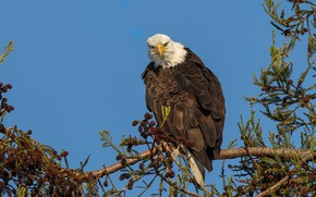 Picture branches, bird, eagle, needles, bumps, blue sky, bald eagle