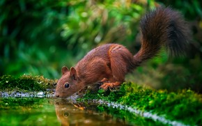 Picture greens, water, nature, reflection, animal, protein, drink, pond, animal, rodent, Tamas Hauk