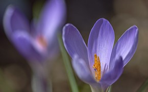 Picture flowers, spring, crocuses