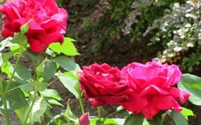Picture bright, roses, trio, Meduzanol ©, summer 2018