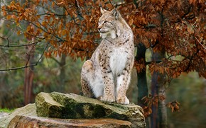 Picture autumn, look, branches, pose, foliage, stone, lynx, sitting